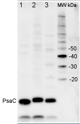 Wesatern blot with anti-PsaC antibody