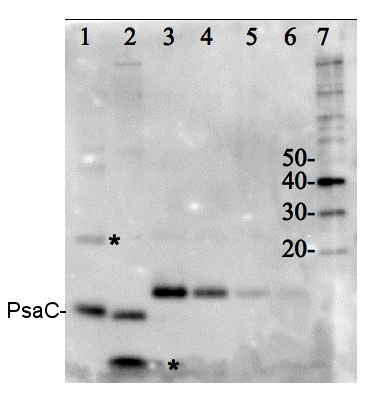 western blot detection with PsaC protein standard