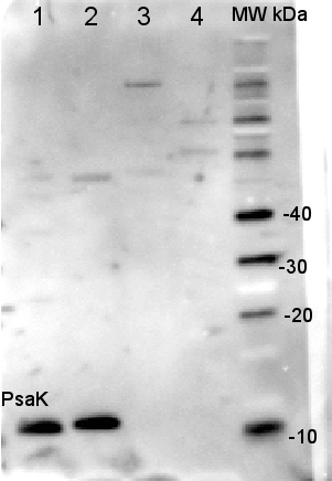Western blot detection using anti-PsaK antibodies