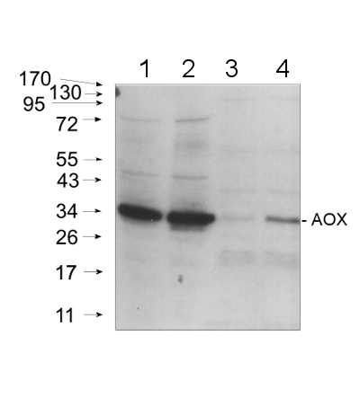 western blot using anti- plant AOX polyclonal antibody