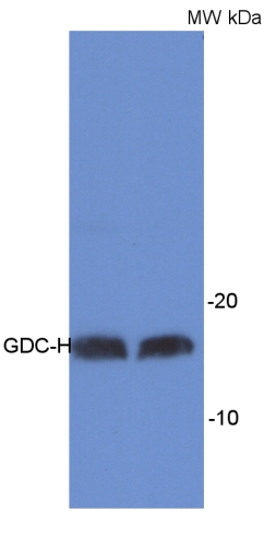 western blot detection using anti-GDC-H antibody