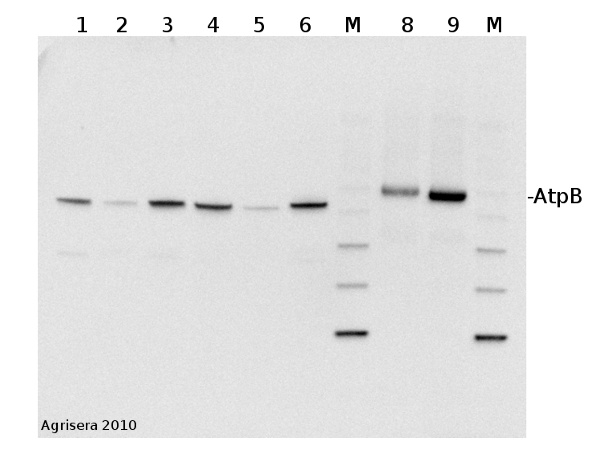 western blot        detection of AtpB in animal and plant tissue