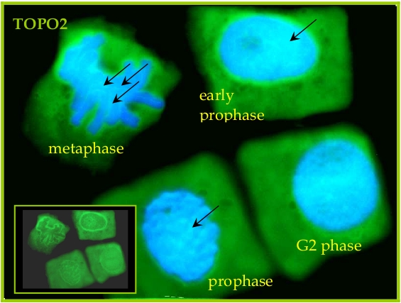 immunolocalization of TOPO2 in plant chromosomes