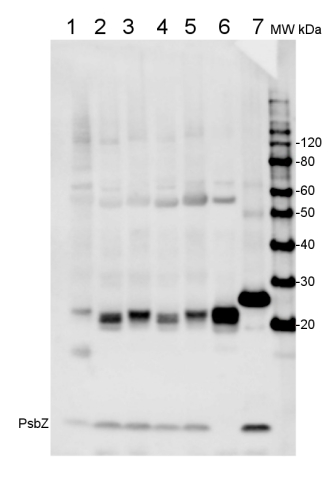 Western blot detection using PsbZ antibody