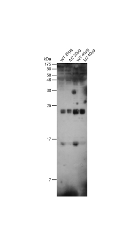 western blot detection using anti-ferredoxin antibodies