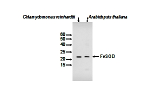 Western blot using anti-FeSOD antibodies