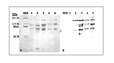 western blot using anti-VTG antibodies