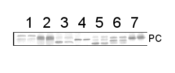 western blot image using anti-plastocyanin antibody