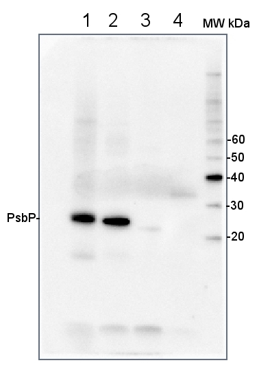 western blot using anti-PsbP antibodies