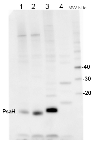 western blot detection using PsaH antibody