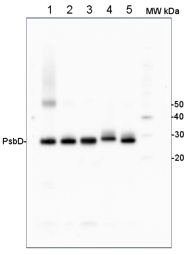 western blot using anti-PsbD antibodies