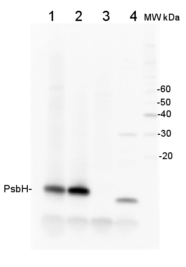 western blot detection using anti-PsbH antibodies