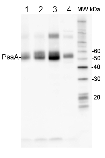 western blot using anti-PsaA antibodies