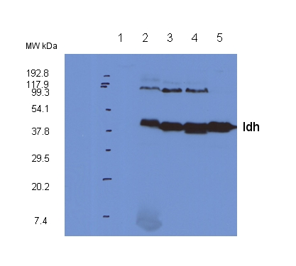 western blot detection using anti-Idh antibodies