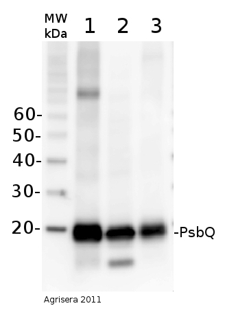 western blot using anti-PsbQ antibodies
