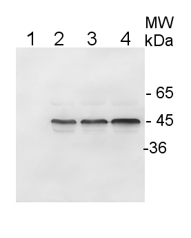 western blot using anti-plant IDH antibodies