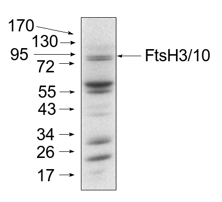 western blot detection using anti-FtsH3/10 antibodies