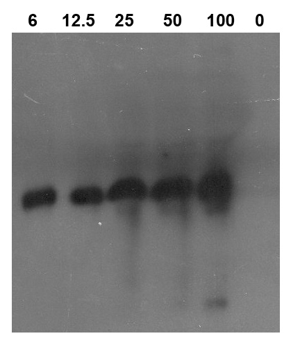 western blot detection using class I chitinase antibodies