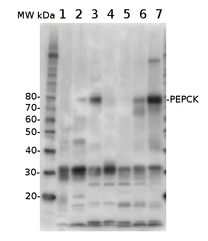 western blot detection using anti-PEPCK antibodies