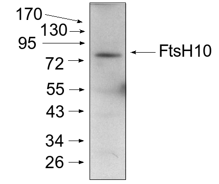 western blot detection using anti-FtsH10 antibodies