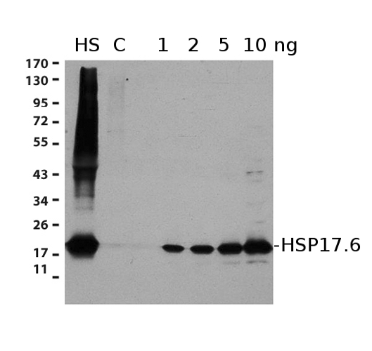 western blot using anti-Hsp17.6 antibodies