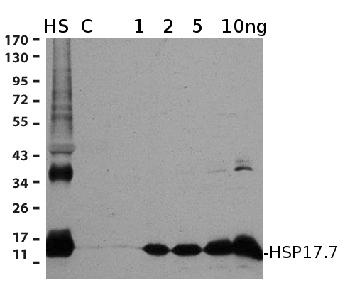 western blot using anti-HSP17.7 antibodies