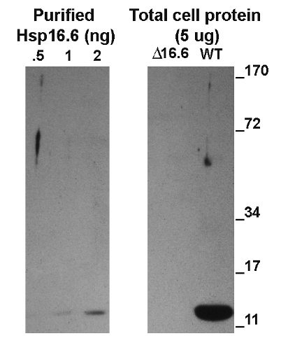 Western blot using anti-Hsp16.6 antibodies
