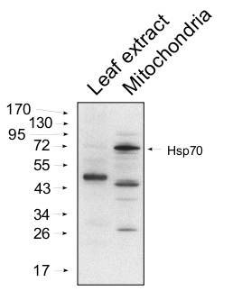western blot using anti-HSP70 mitochondrial antibodies