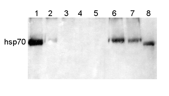 western blot detection using anti-hsp70 antibody
