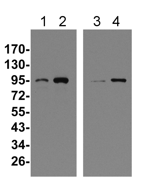 western blot detection using plant anti-HSP90 antibodies