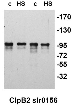 western blot detection of slr0156 protein in cyanobacteria