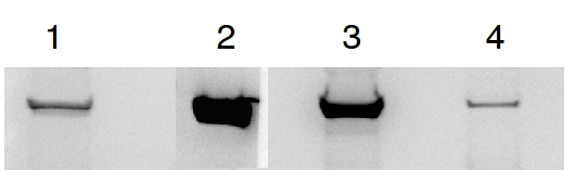 western blot using anti-GP antibodies