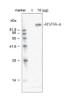 western blot detection using anti-AtVHA-a antibodies