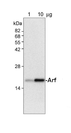 western blot detection using anti-Arf antibodies