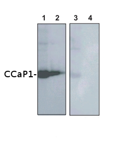 westrn blot using anti-CCaP1 antibodies