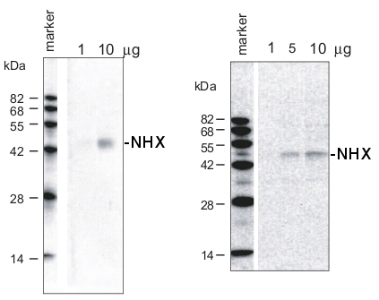 western blot detection using NHX antibodies