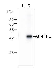 western blot using anti-AtMTP1 antibodies