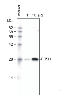 western blot detection using anti-PIPs antibodies