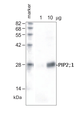 western blot using anti-PIP2;1 antibodies