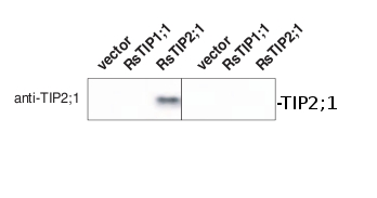western blot using anti-TIP2;1 antibodies