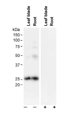 western blot detection using anti-PIP2;1