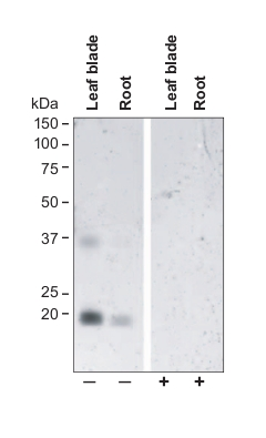western blot using anti-TIP2;2 C-terminal antibodies