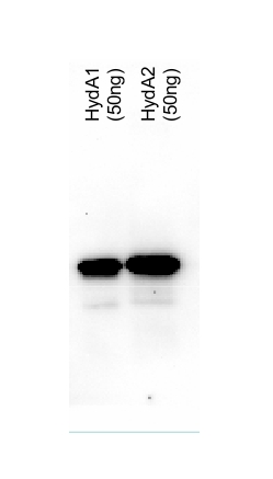 western blot using anti-Chlamydomonas HydA antibodies