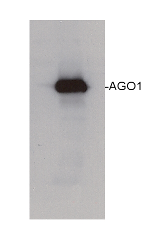western blot using anti-AGO1 antibodies