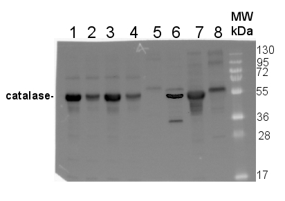 western blot using anti plant catalase antibody