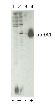 western blot using aadA1 antibodies
