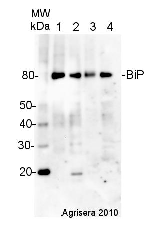 western blot detection of plant BiP using hen antibody