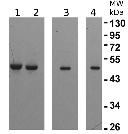 Western blot detection using anti-elongation factor gamma 1 and 2antibodies