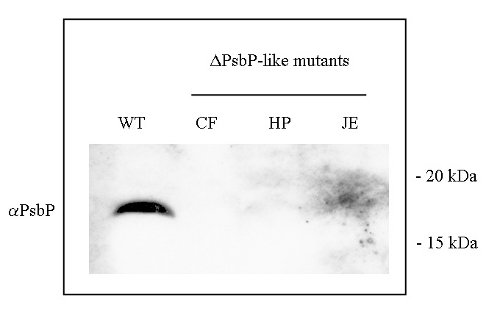 western blot detection using anti-PsbP-like antibody