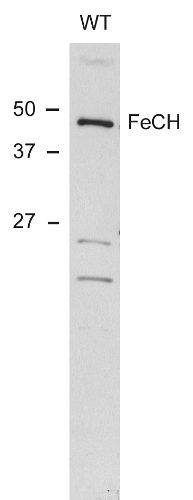 western blot using anti-ferrochelatase antibodies (cyanobacterial)